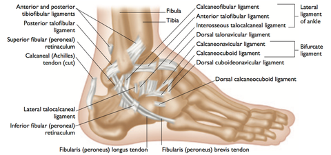 Ankle Anatomy Trigger Points