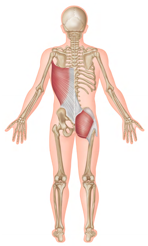 Hip and Shoulder Trigger Points