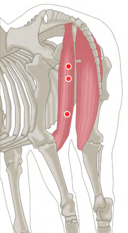 Trigger Point Release for Horses Hamstrings