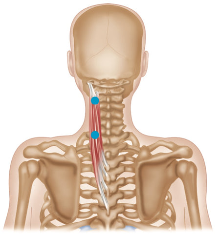 Trigger Point Therapy - Splenius Cervicis