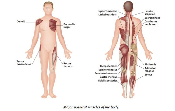 Trigger Points - Postural Muscles