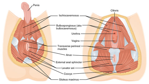 Pelvic Floor Muscle Trigger Points