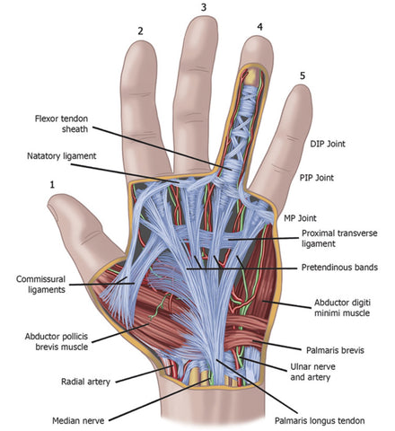 Hand Anatomy Course