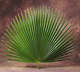 Fan Palms Decorative   4 per bag