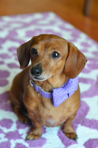 Purple Polka Dot Bow Tie Dog Collar | Bone & Bow Tie