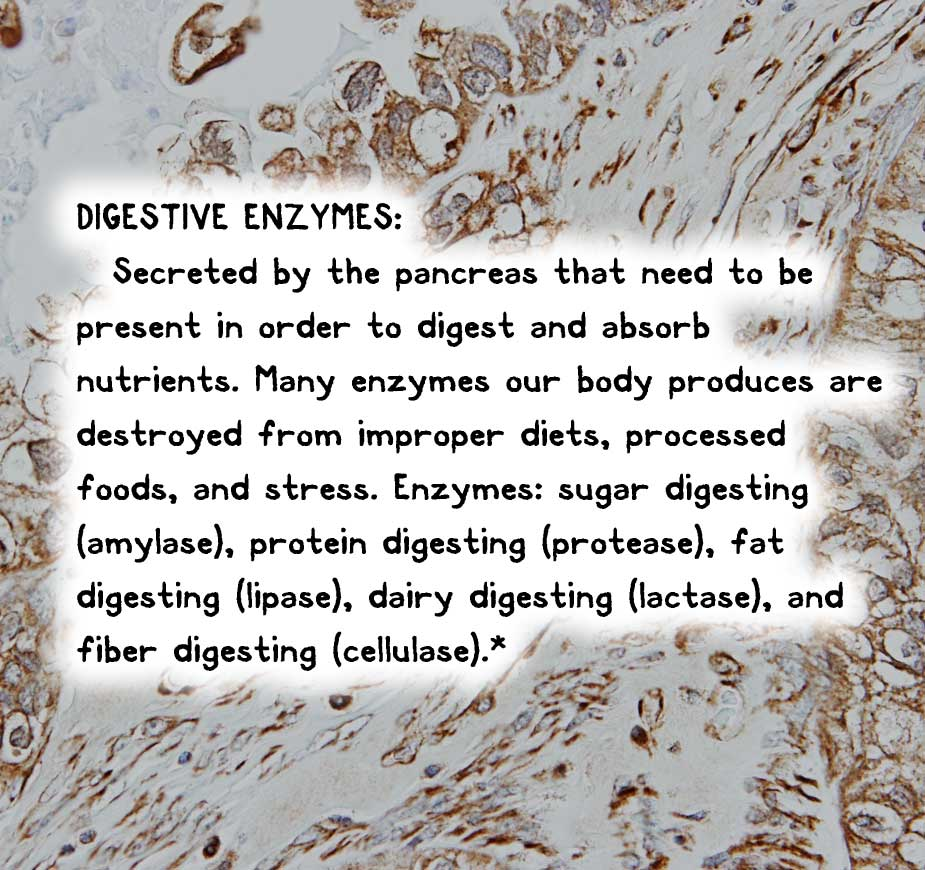 DIGESTIVE ENZYMES: Secreted by the pancreas that need to be present in order to digest and absorb nutrients. Many enzymes our body produces are destroyed from improper diets, processed foods, and stress. Enzymes: sugar digesting (amylase), protein digesting (protease), fat digesting (lipase), dairy digesting (lactase), and fiber digesting (cellulase).