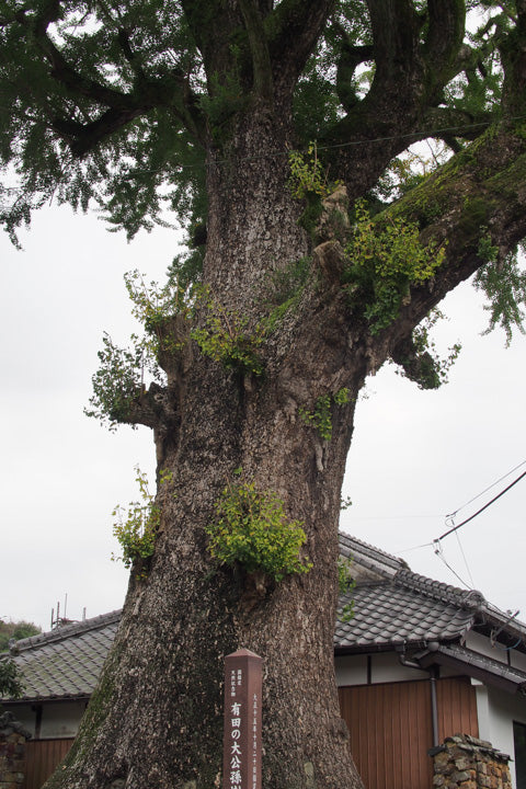 Big gingko tree in Arita