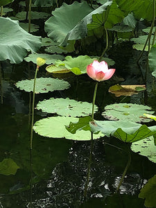 Lotus Flower & Leaf