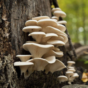 Top 5 Mushrooms to harvest in the PNW