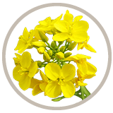 Non-GMO Canola Oil Flower