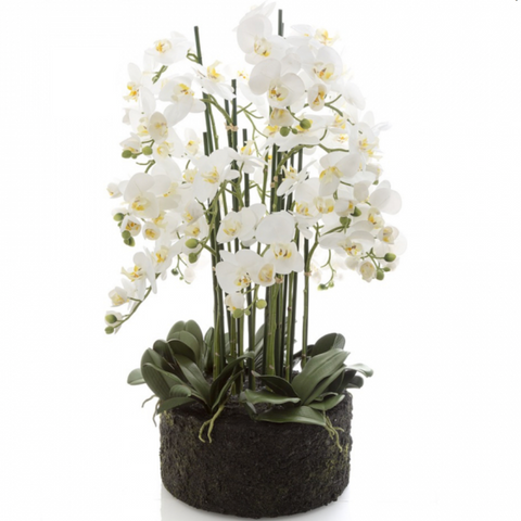Large Phalaenopsis in Paper Pot