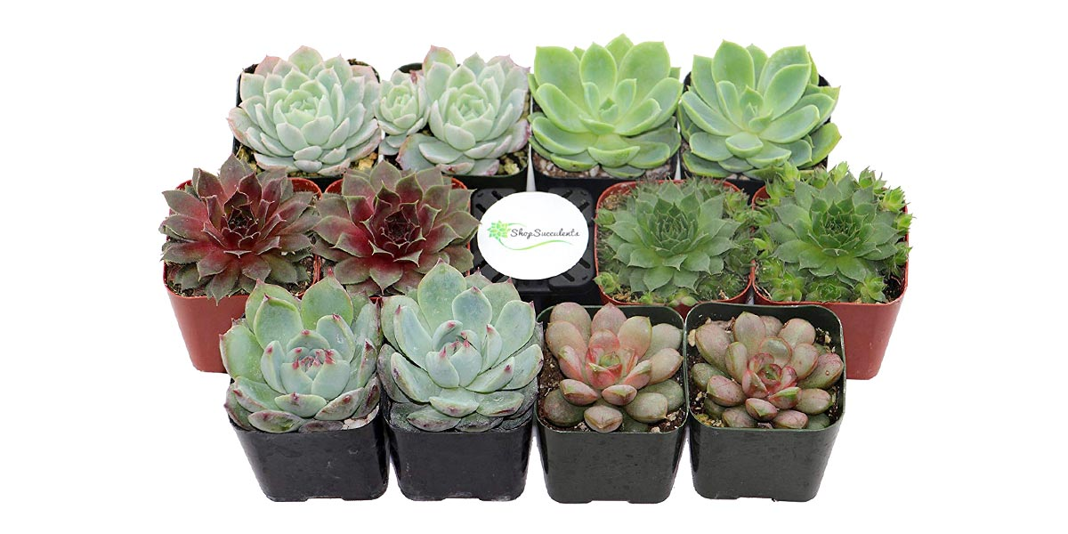 Rosette Succulent by Shop Succulents