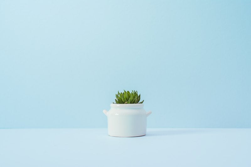Succulent in white pot with light blue background