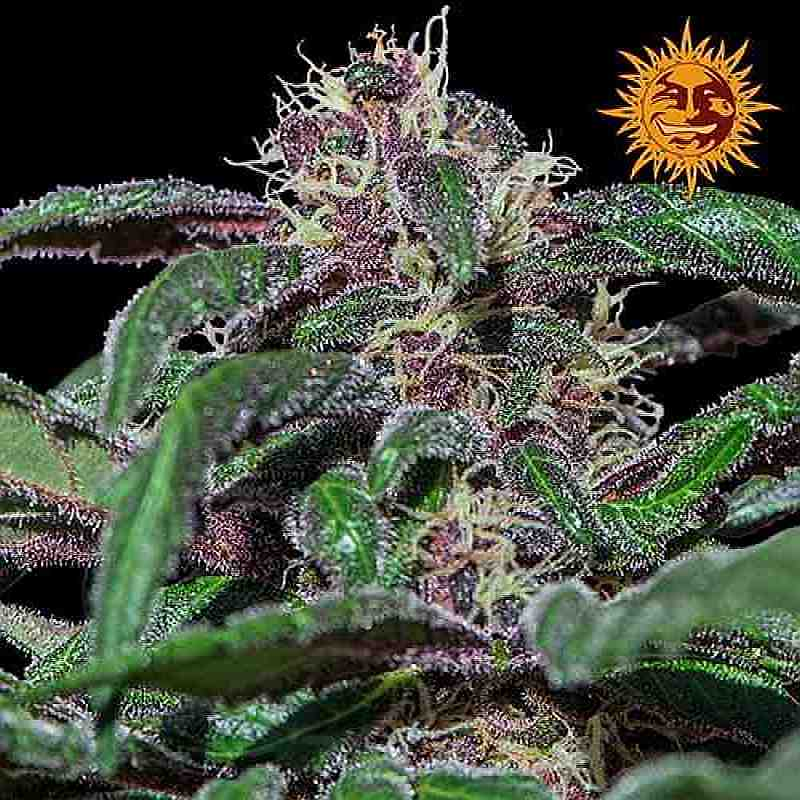 SEE005: Ayahuasca Purple Feminized Seeds (Barney's Farm) 5 X Feminized Seeds - Puff.co.za
