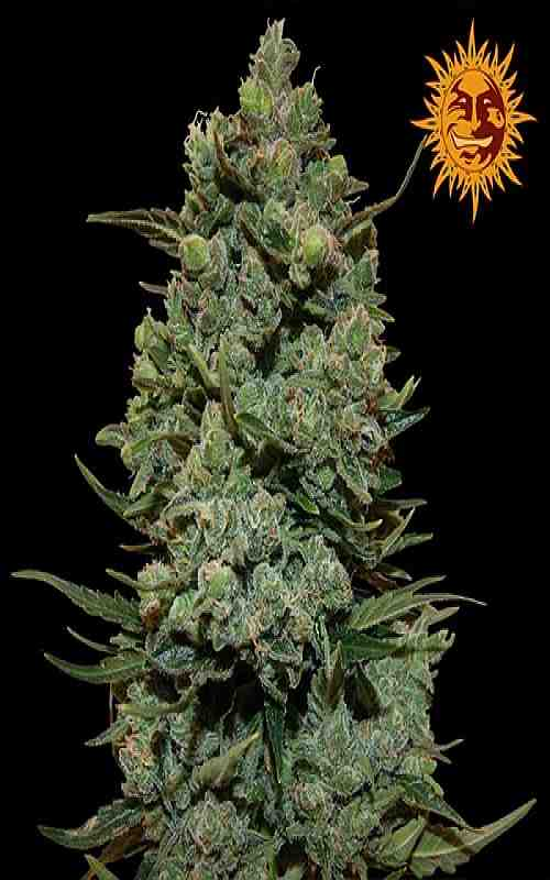 SEE006: Cookies Kush Feminized Seeds (Barney's Farm) 3 X Feminized seeds