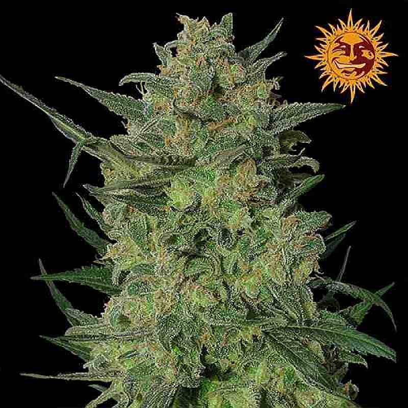 SEE010: LSD Feminized Seeds (Barney's Farm) 5 X Feminized seeds - Puff.co.za