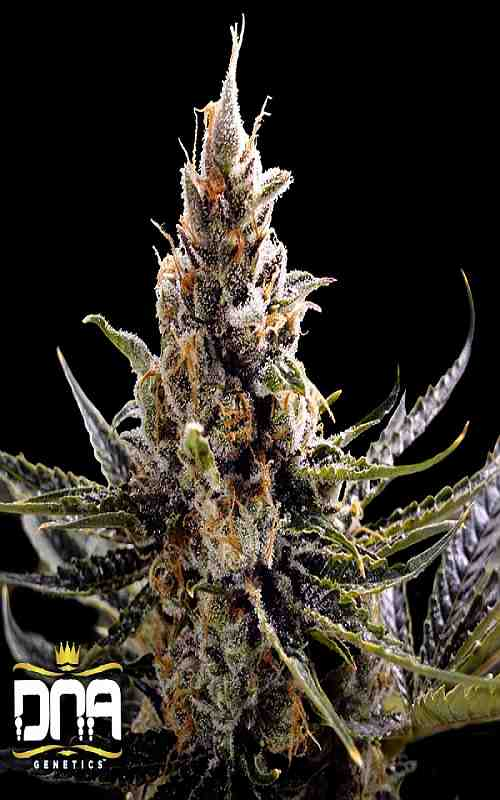 SEE013: 24K Gold (aka Kosher Tangie) FEMINIZED Seeds (DNA Genetics) 6 X Feminized seeds