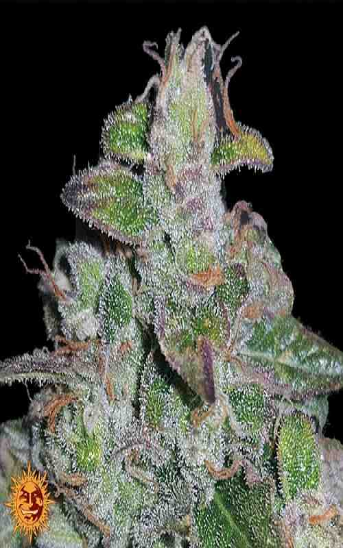 SEE003: Blueberry OG Limited Edition Feminized Seeds (Barney's Farm) - Puff.co.za