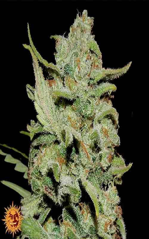 SEE002: Peyote Critical Limited Edition Feminized Seeds (Barney's Farm) 3 X Feminized Seeds