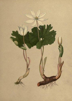 Bloodroot (Sanguinaria canadensis) - Witching Roots - Keven Craft Rituals