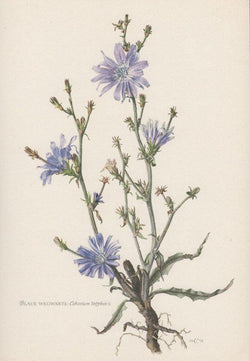 Chicory Roasted Root (Cichorium intybus) - Witching Roots