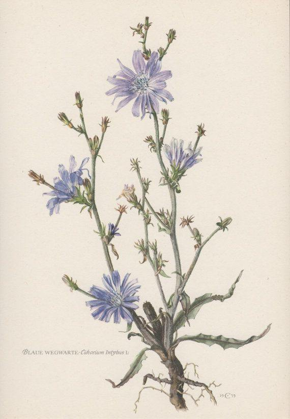 Chicory Roasted Root (Cichorium intybus) - Witching Roots - Keven Craft Rituals