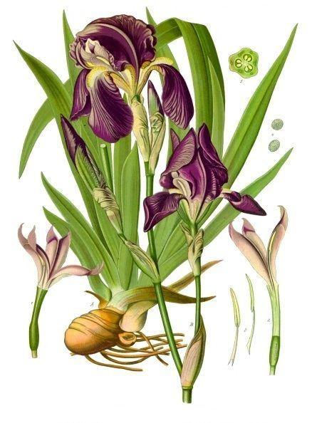 Orris Root Powder aka Jezebel Root (Iris Germanica) - Witching Herbs - Keven Craft Rituals