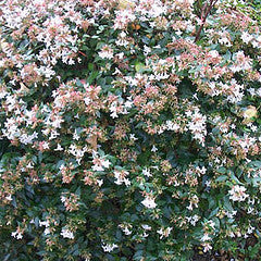 Abelia grandiflora 'Rose Creek'