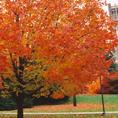Acer saccharum 'Green Mountain' Sugar Maple