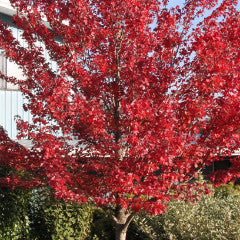 Acer rubrum 'Redpointe' Maple