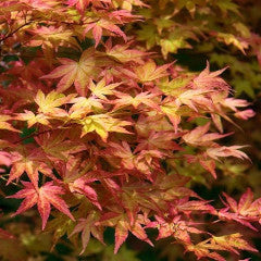Acer palmatum 'Shindeshojo' Japanese Maple
