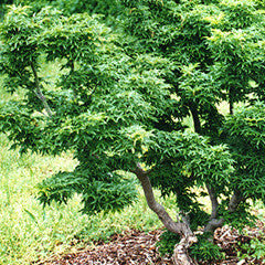 Acer palmatum 'Shishigashira' Lion's Head Japanese Maple