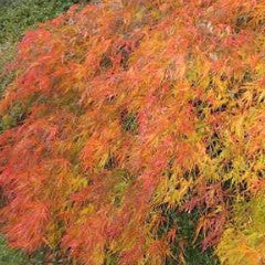 Acer palmatum var. dissectum 'Crimson Queen' Japanese Maple