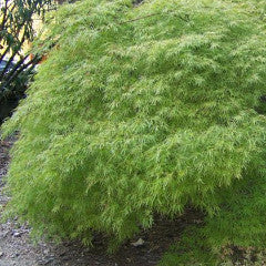 Acer palmatum var. dissectum 'Viridis' Green Leaf Weeping Japanese Maple