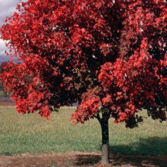 Acer rubrum 'October Glory' Red Maple