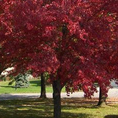 Acer rubrum 'Red Sunset' Red Maple