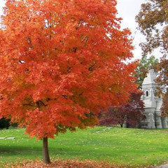 Acer saccharum 'Legacy' Sugar Maple