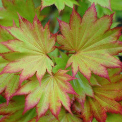 Acer shirasawanum 'Ogurayama' Japanese Maple