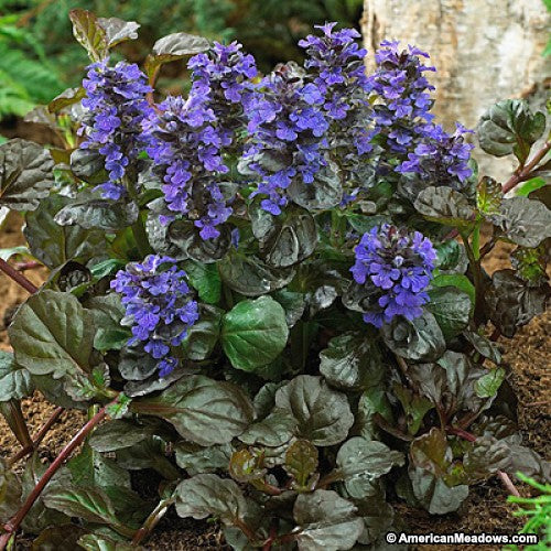 Ajuga 'Black Scallop' Bugleweed