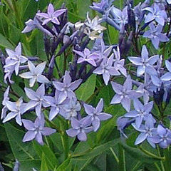 Amsonia 'Blue Ice' Bluestar