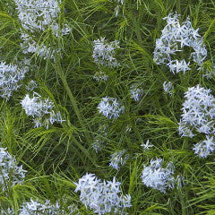 Amsonia hubrichtii Arkansas Bluestar