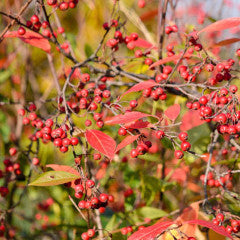 Aronia arbutifolia 'Brilliantissima' Brilliant Red Chokeberry