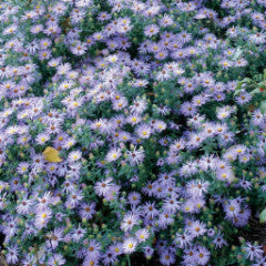 Aster laevis 'Bluebird' Smooth Aster (syn. Symphyotrichum laeve)
