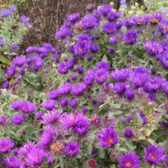 Aster (Symphyotrichum) novae-angliae 'Purple Dome' New England Aster
