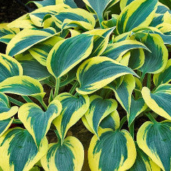 Hosta Shadowland™ 'Autumn Frost'