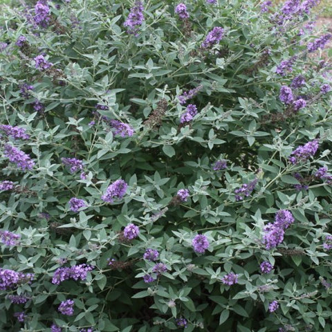 Buddleia 'Blue Heaven' Dwarf Butterfly Bush