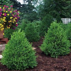 Buxus 'Green Mountain' Pyramidal Boxwood