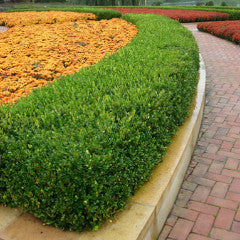 Buxus sempervirens 'Suffruticosa' English Boxwood