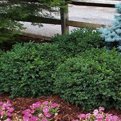 Buxus sempervirens 'Varder Valley' Low Spreading American Boxwood