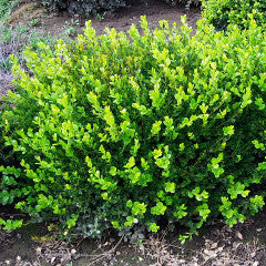 Buxus microphylla var. japonica 'Winter Gem' Boxwood